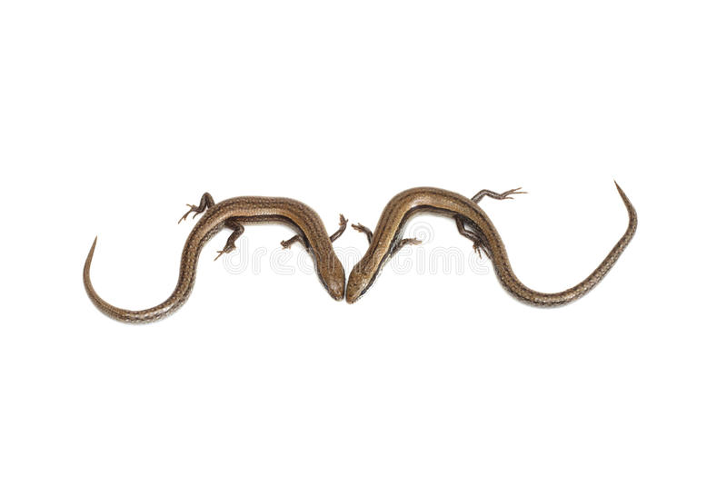 二只小的蜥蜴 库存图片