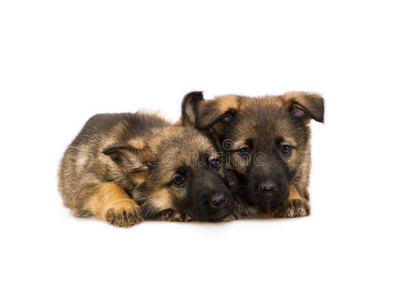 二只德国护羊狗小狗 免版税库存照片