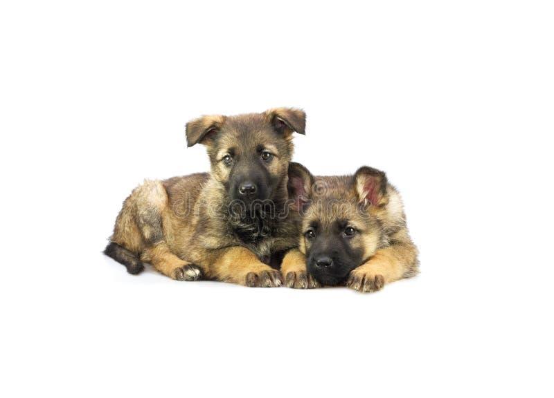 二只德国护羊狗小狗 免版税库存图片