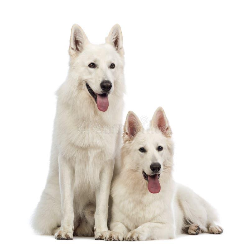二只瑞士牧羊犬, 5岁,气喘,位于和坐 免版税库存照片