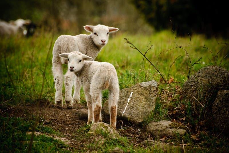 二只羊羔 库存图片