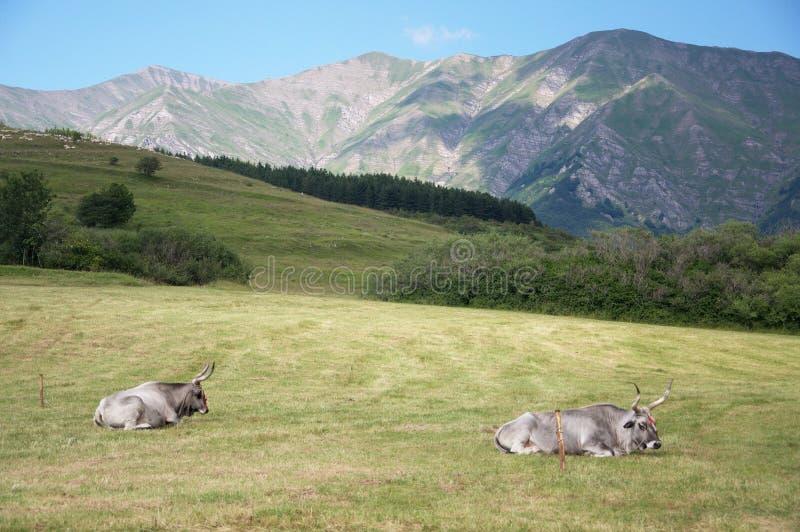 二头母牛 免版税库存照片