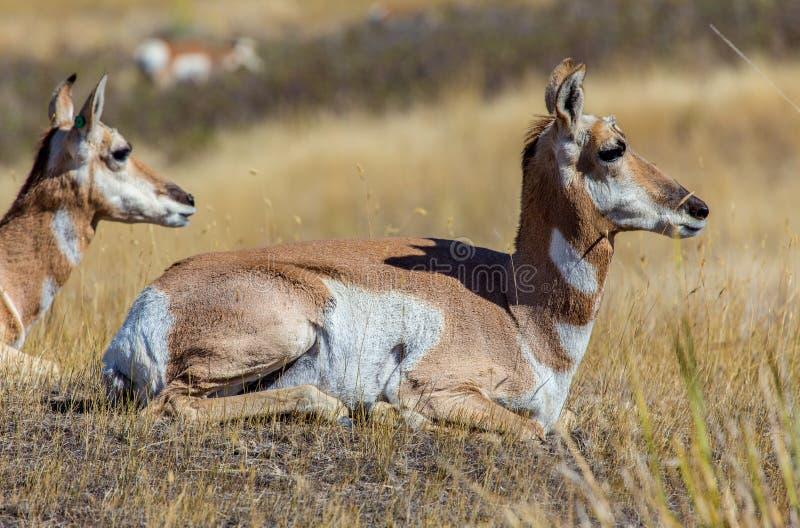 二羚羊 免版税库存照片