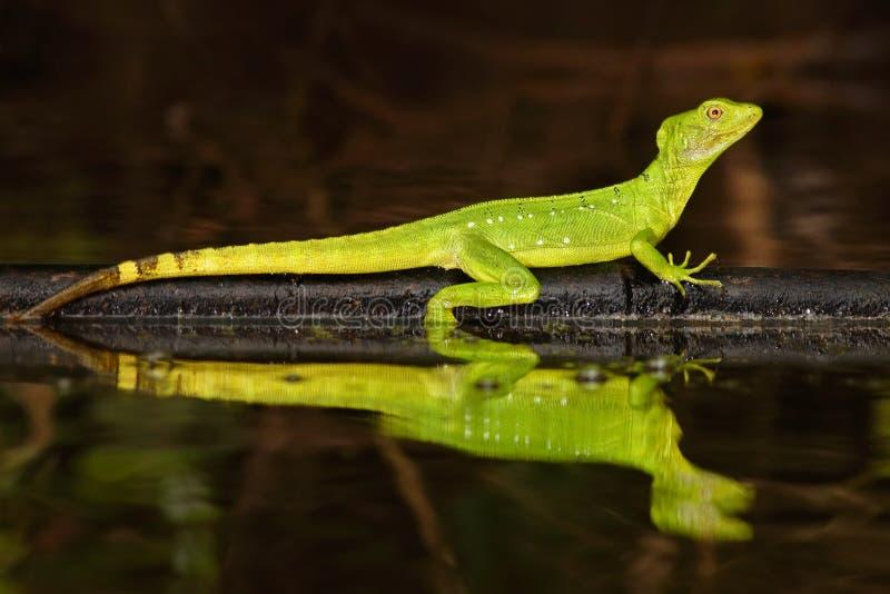 二重有顶饰蛇怪,蛇怪plumifrons,镜子在热带河的艺术视图 绿蜥蜴在自然栖所 美丽 库存图片