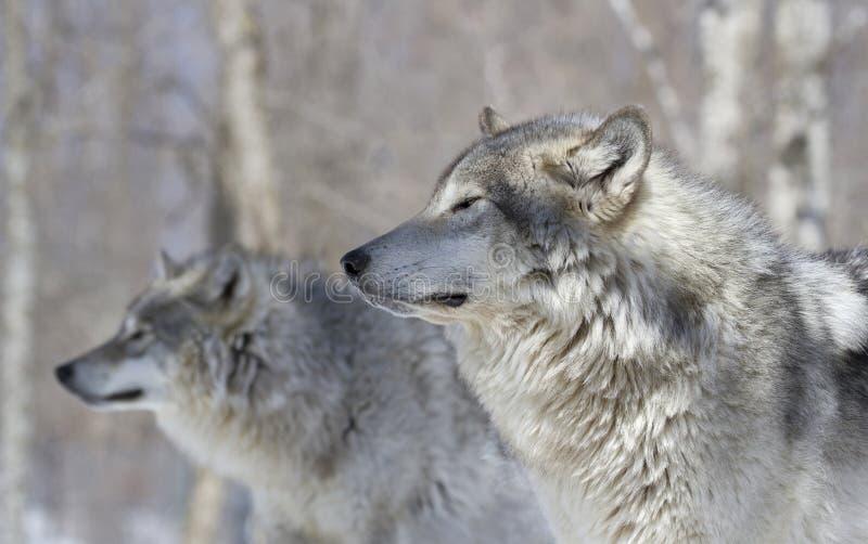 二头狼在森林里 库存照片