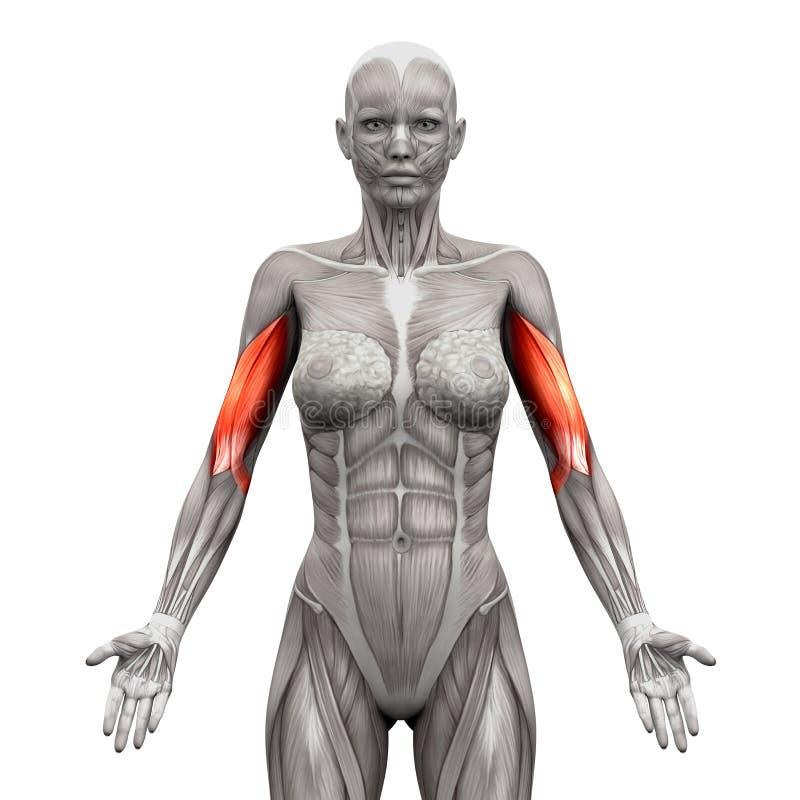 二头肌干涉-在白的3D illustra隔绝的解剖学肌肉 向量例证