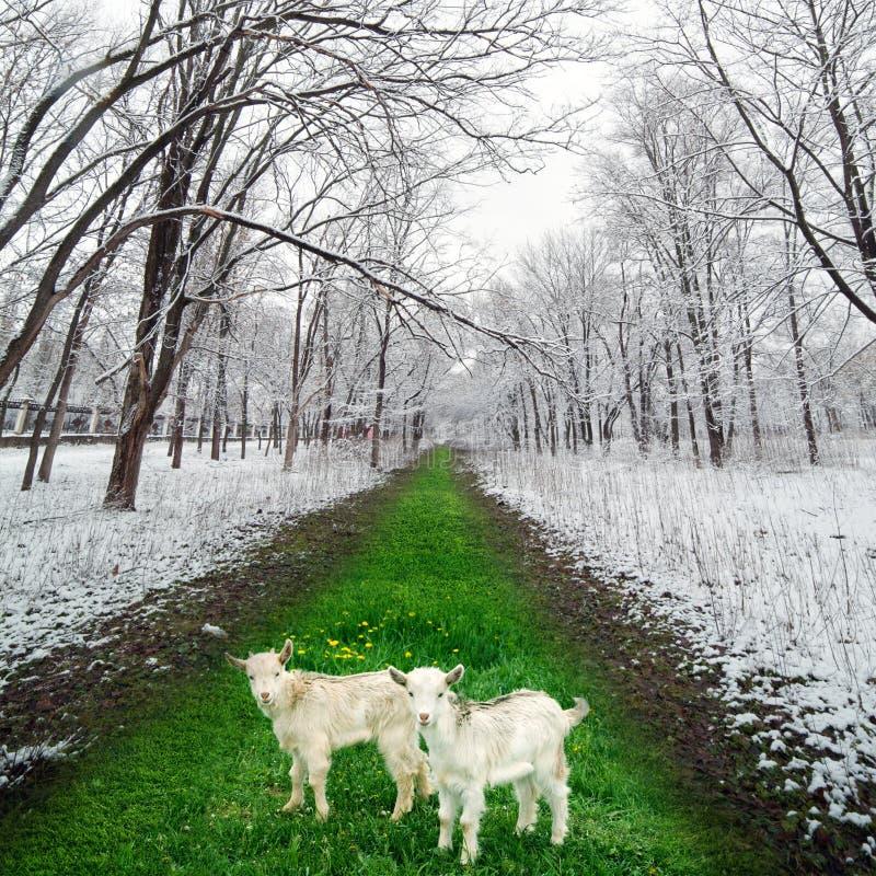二goatlings在冬天公园 免版税库存照片