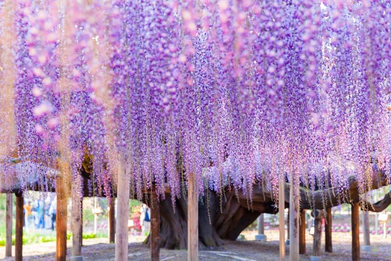 于大紫藤格子扎根的秀丽 库存照片