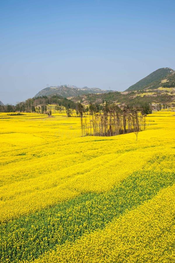 云南罗平县牛街乡阵营脚拧紧露台的油菜花 免版税图库摄影