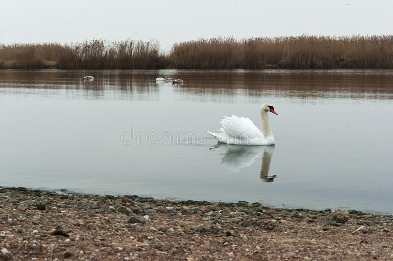 阴云密布,天鹅,湖,河,鸟,水鸟 库存图片