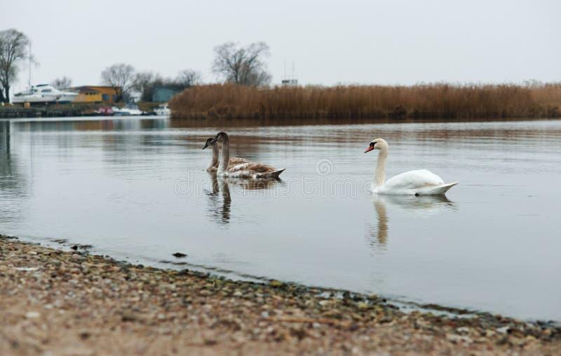阴云密布,天鹅,湖,河,鸟,水鸟 免版税图库摄影