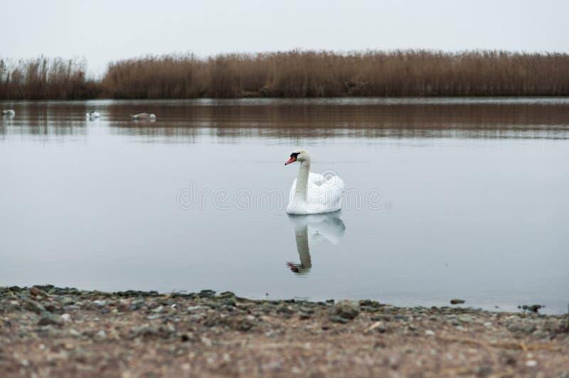 阴云密布,天鹅,湖,河,鸟,水鸟 库存照片
