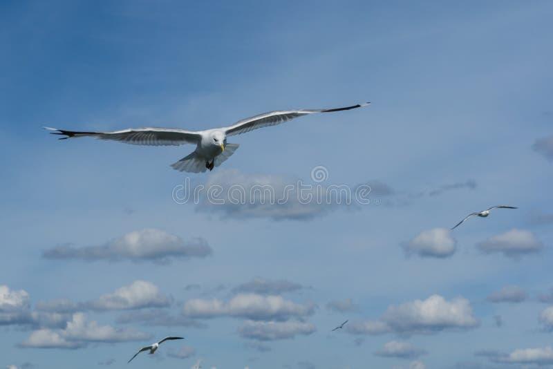 从云彩的海鸥 免版税库存图片