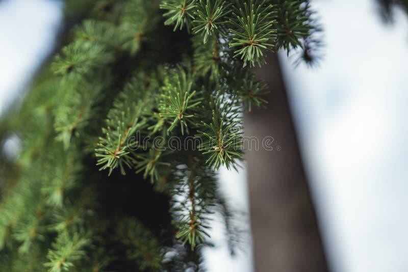 云杉分支在成为不饱和的公园-, V的喜怒无常的照片 库存图片