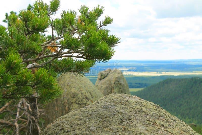 云杉增长在石小山顶部 库存照片