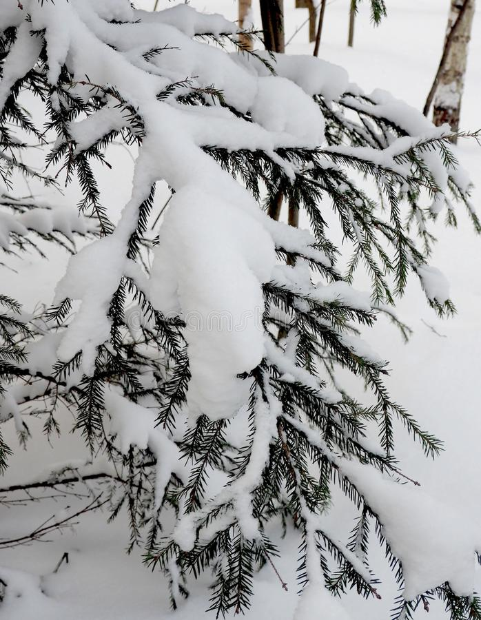 云杉的分行在冬天 库存照片