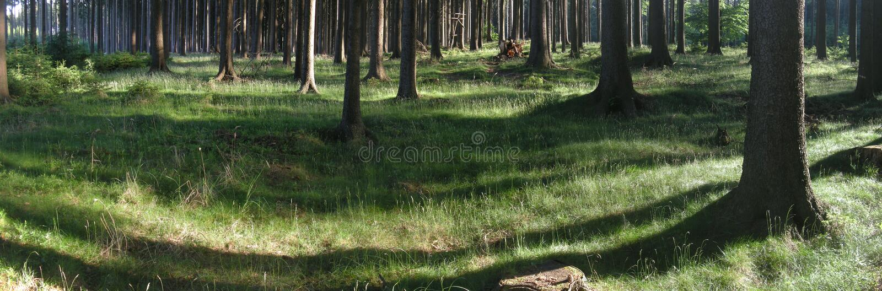 云杉的树在森林里在春天白天 库存图片