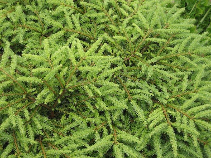 云杉的树阿拉斯加 免版税库存照片