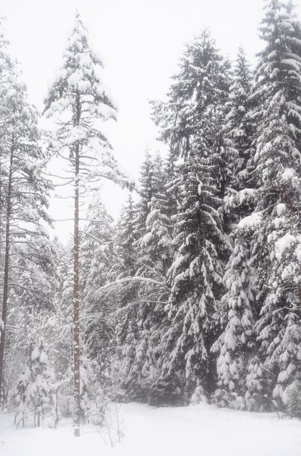 云杉的森林在冬天 免版税库存照片