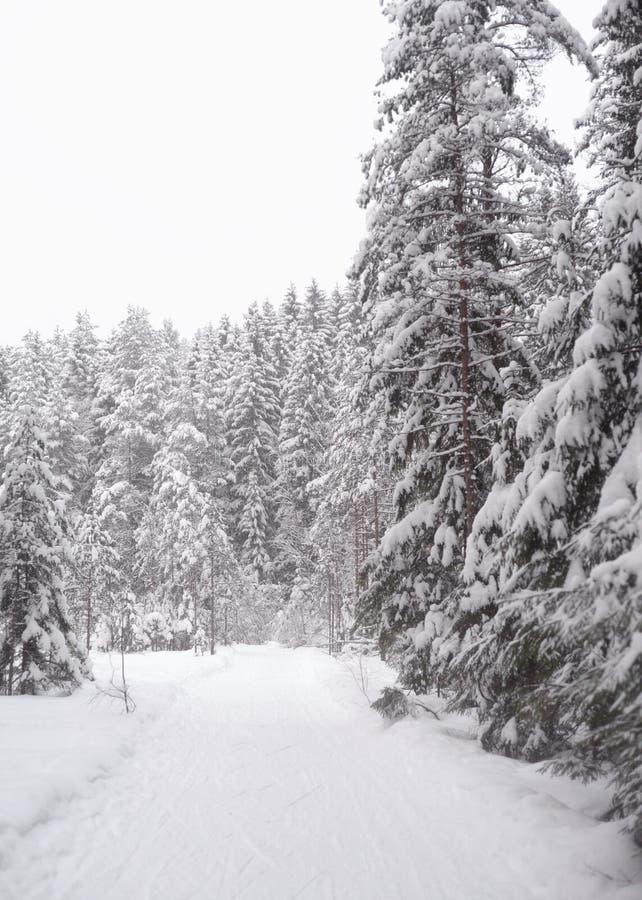 云杉的森林在冬天 库存图片