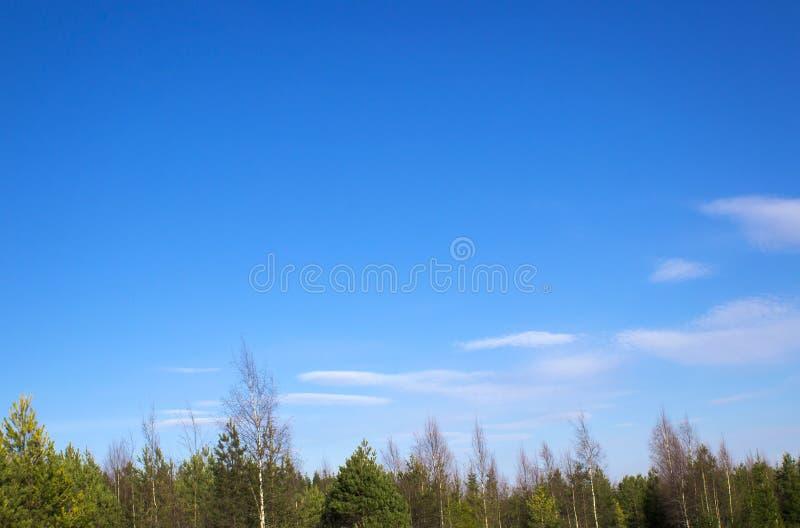 云杉的森林在春天晴天 图库摄影