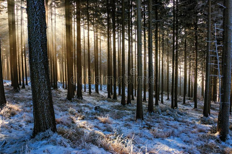 云杉的森林 免版税库存图片