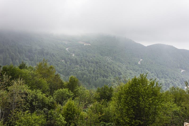 云杉的森林 库存图片