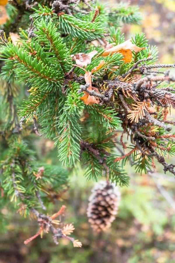 云杉的特写镜头小树枝在秋天森林的模糊的背景的 免版税库存图片