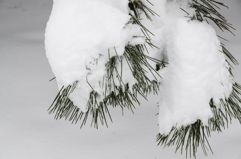 云杉的针接近的看法在白雪的 库存图片