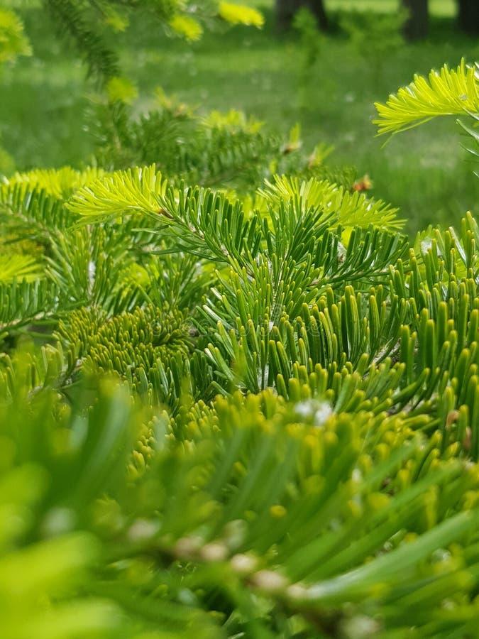 云杉的针绿色黄色地毯  库存图片