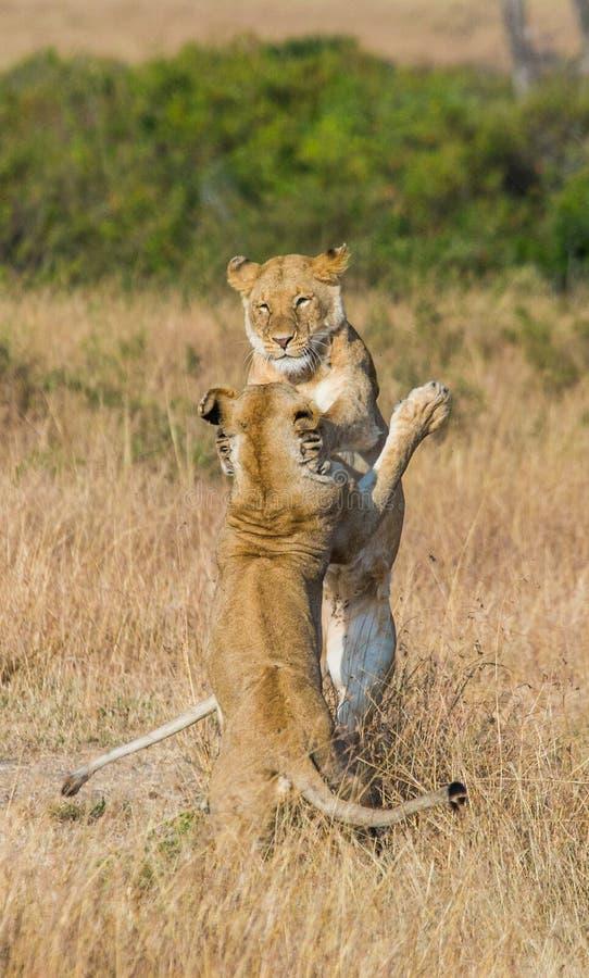 互相的两只雌狮戏剧 国家公园 肯尼亚 坦桑尼亚 mara马塞语 serengeti 图库摄影