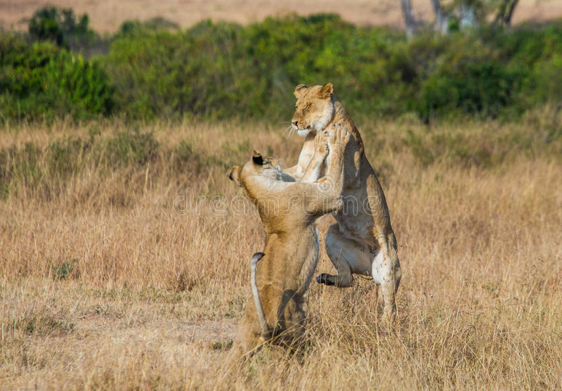 互相的两只雌狮戏剧 国家公园 肯尼亚 坦桑尼亚 mara马塞语 serengeti 免版税库存图片