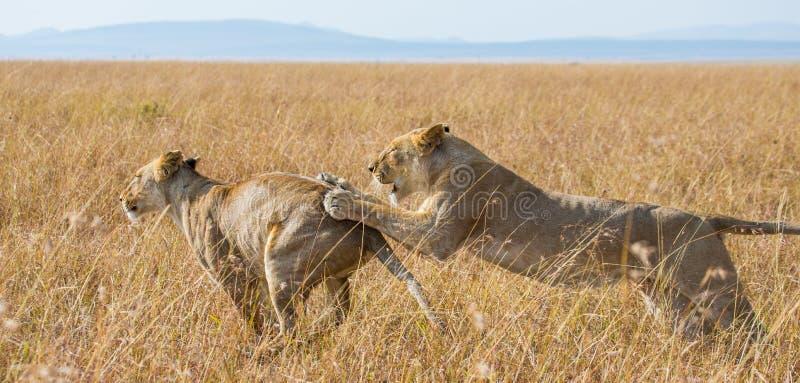 互相的两只雌狮戏剧 国家公园 肯尼亚 坦桑尼亚 mara马塞语 serengeti 库存照片