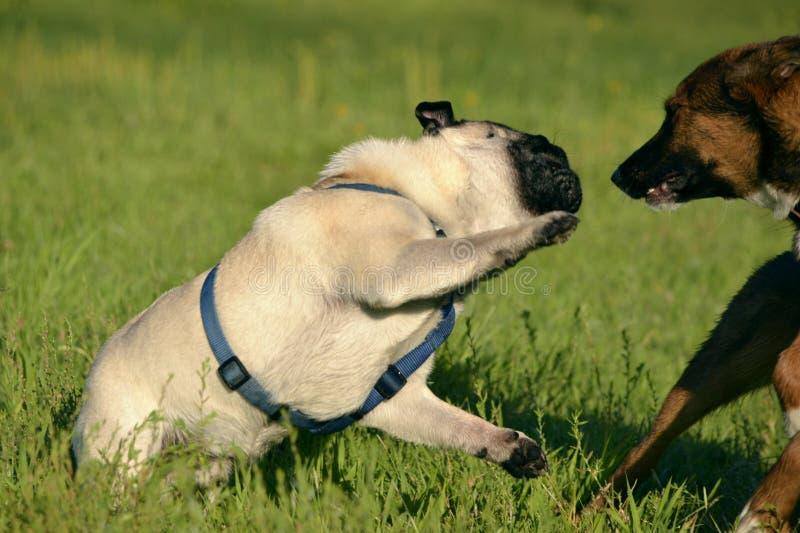 互相的狗戏剧 幼小哈巴狗狗 快活的忙乱小狗 积极的狗 狗训练  小狗教育, cynology, inte 库存图片