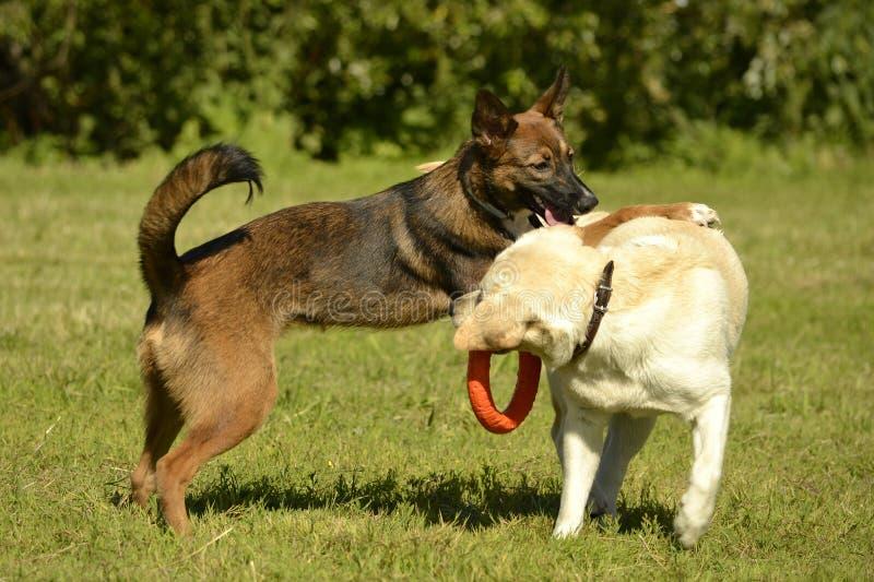 互相的狗戏剧 拉布拉多 快活的忙乱小狗 积极的狗 狗训练  小狗教育, cynology,密集 库存照片
