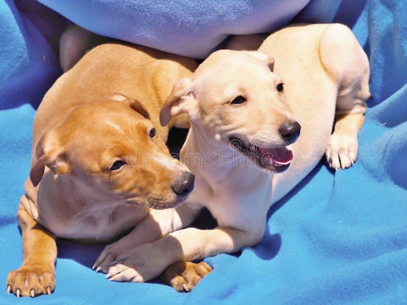 互相紧贴两只拉布拉多的小狗在一条蓝色毯子的谎言在阳光下 库存照片