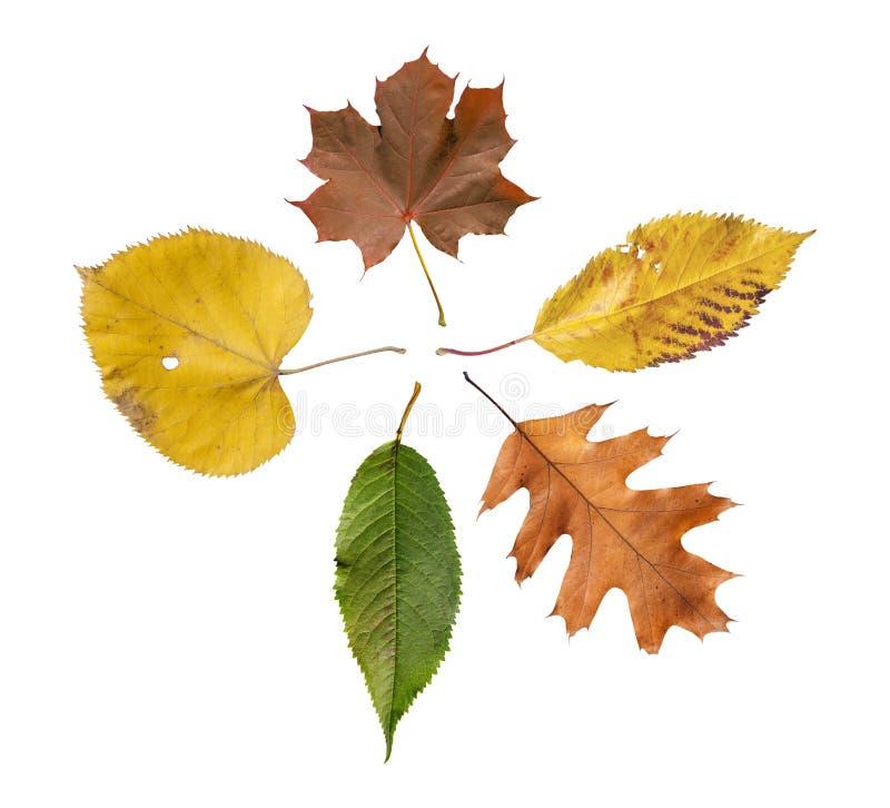 五上色了叶子与金黄装饰秋天叶子被隔绝 免版税图库摄影