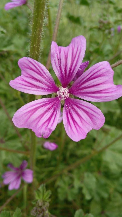 五个瓣紫色花,在春天 库存图片