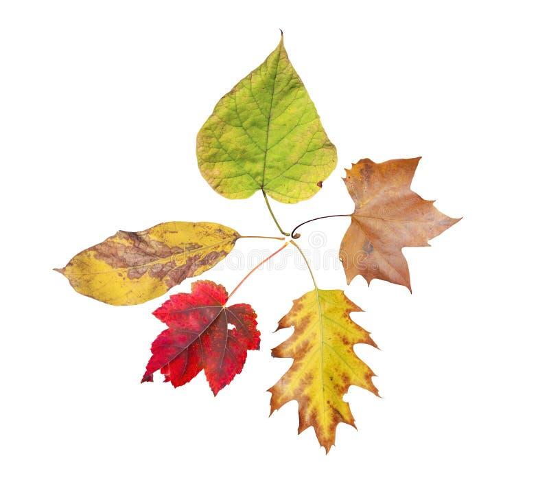 五从在白色隔绝的树的秋天自然色的叶子 库存照片