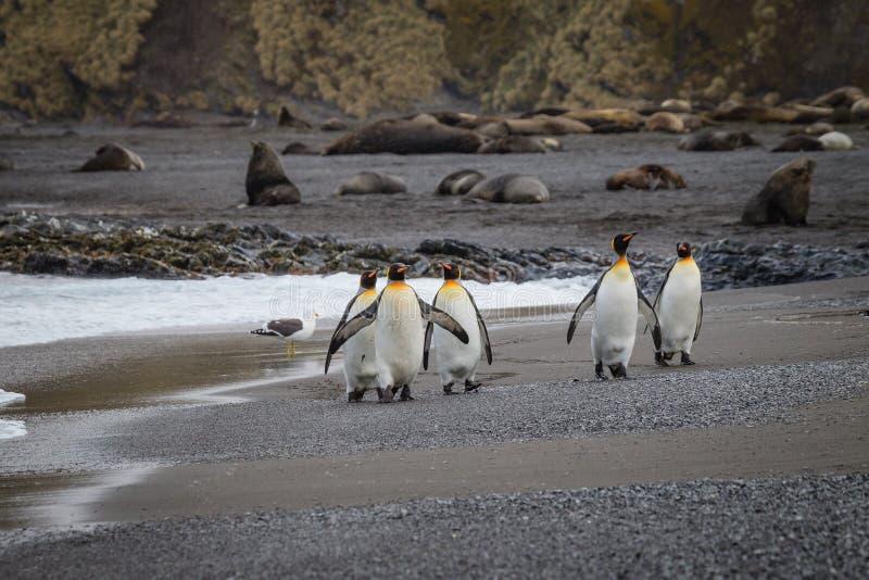 五企鹅国王步行沿着向下在脊美鲸海湾的海滩 库存照片