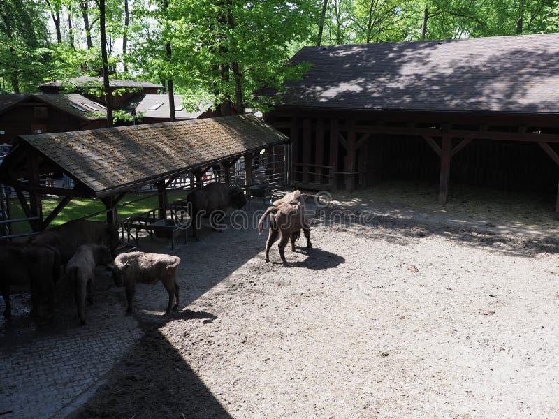 五口之家风景狂放的欧洲北美野牛在含沙地面站立在封入物在普什奇纳,波兰  免版税库存图片