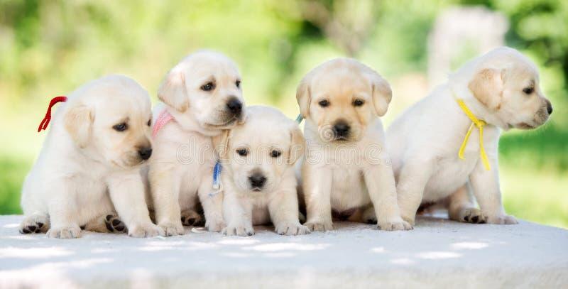五只可爱的拉布拉多猎犬小狗 库存图片