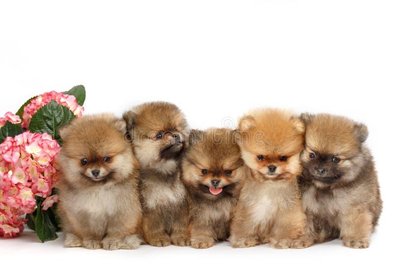 五只小狗pomeranian在白色背景,被隔绝 免版税库存照片
