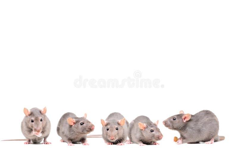 五只灰色鼠 库存照片