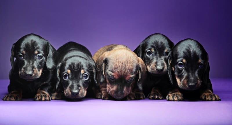 五只达克斯猎犬小狗演播室质量 免版税库存图片
