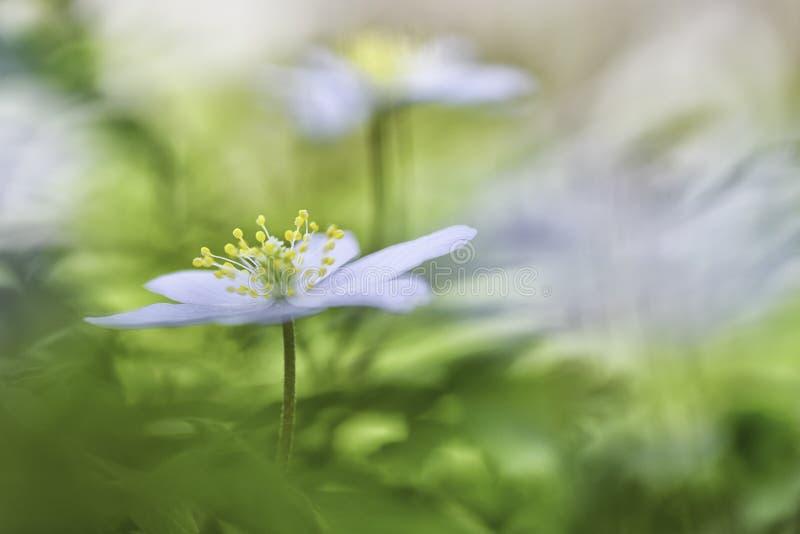 五叶银莲花春天在这里 库存图片