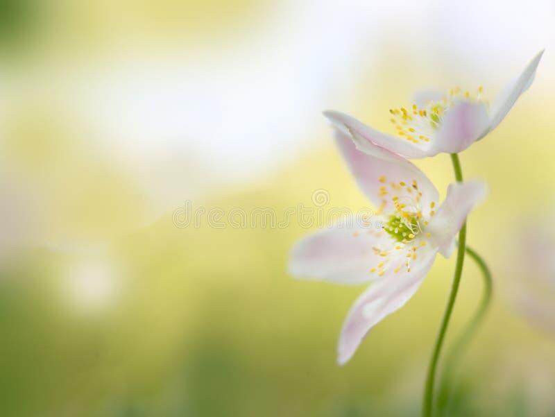 五叶银莲花-一对早期的春天花夫妇的宏指令 免版税库存照片