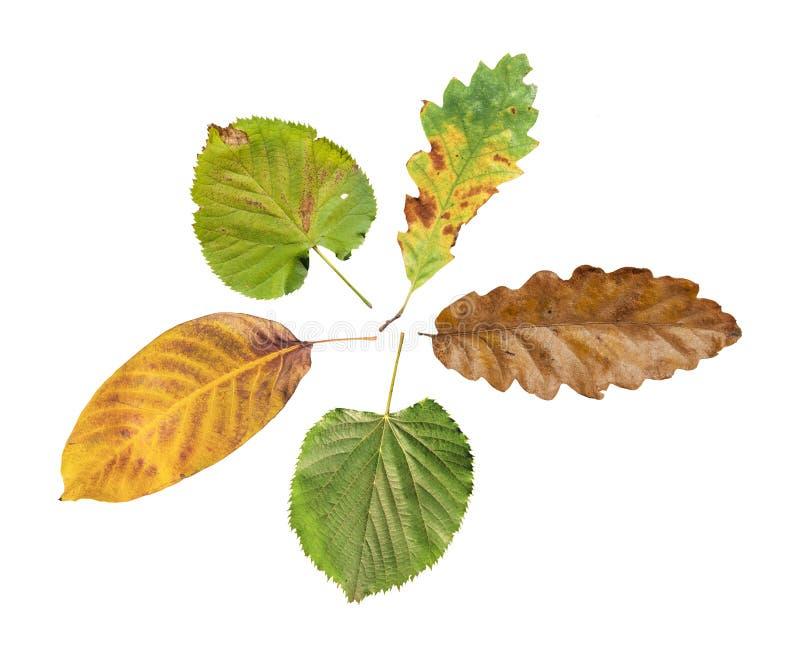 五在白色背景隔绝的农业自然秋天叶子 库存照片