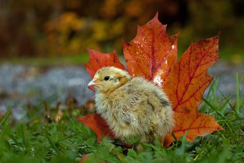 五天年纪鹌鹑,鹑属japonica 在秋天站立在旁边橙色枫叶 库存照片