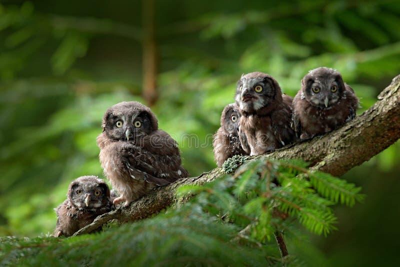 五头幼小猫头鹰 小鸟北方猫头鹰, Aegolius funereus,坐树枝在绿色森林背景中,年轻人,婴孩,崽 免版税库存图片